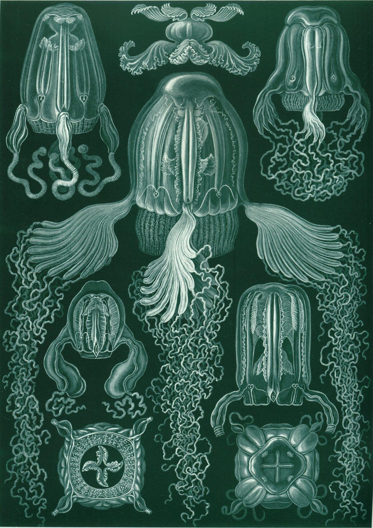 De magnifiques Tirages De Ernst Haeckel des Illustrations de la Vie Microscopique
