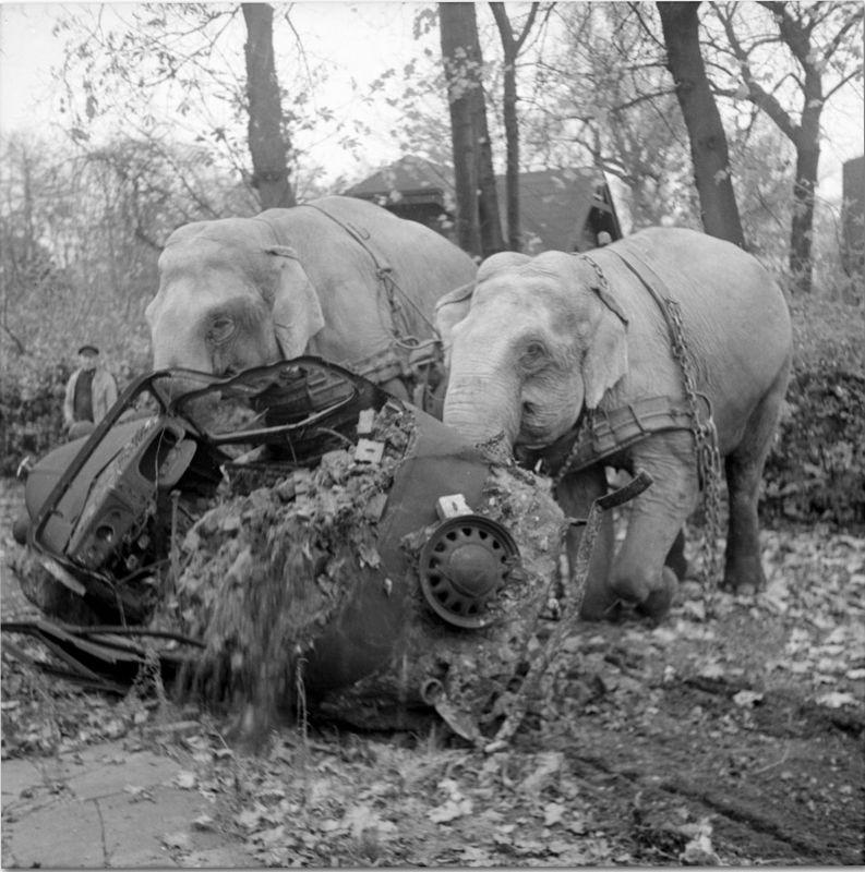 Les éléphants de cirque Kiri et Manie nettoient une voiture laissée à Hambourg après la guerre. Novembre 1945
