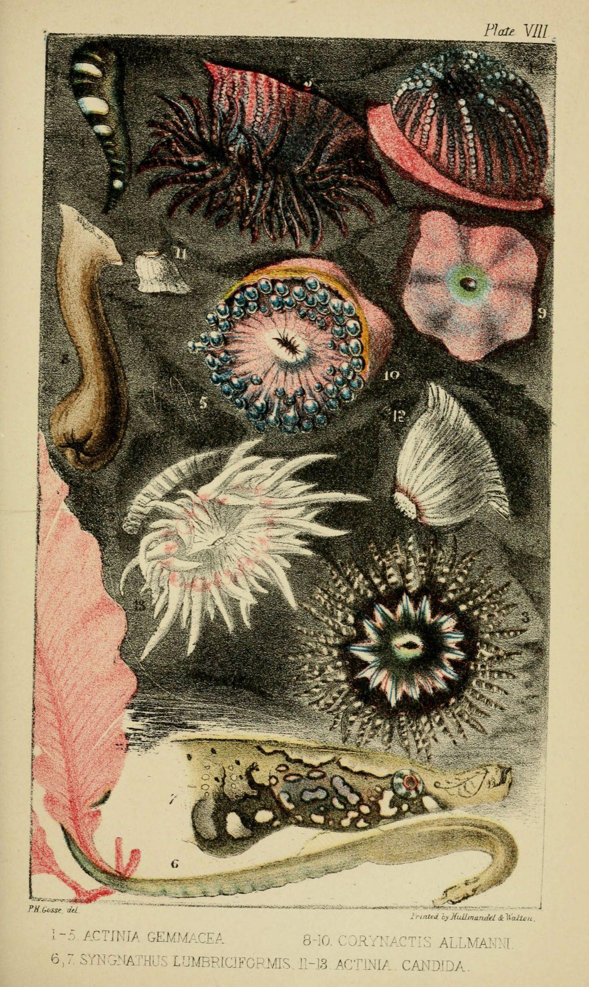 Illustrations de Naturalist's Rambles sur la côte du Devonshire par Philip Henry Gosse - 1853